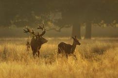 Czerwonego rogacza jeleń z łanią przy wschodem słońca zdjęcie stock
