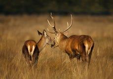 Czerwonego rogacza jeleń z łanią w jesieni zdjęcia royalty free