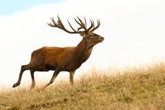 Czerwonego rogacza jelenia bieg Zdjęcie Stock
