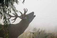 Czerwonego rogacza jelenia Cervus elaphus bellowing lub ryczy Zdjęcie Royalty Free