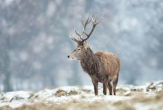 Czerwonego rogacza jelenia pozycja na ziemi zakrywającej z śniegiem fotografia stock