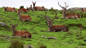Czerwonego rogacza jelenie, Cervus elaphus scoticus, odpoczywa wśród roztoki w Wrześniu, cairngorms park narodowy zbiory wideo