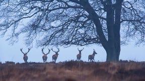 Czerwonego rogacza jelenie pod zimy drzewem w mglistym wrzosie obraz stock