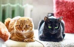Czerwonego scotish fałdu kota i czarnego kota lying on the beach na kanapie Obraz Royalty Free