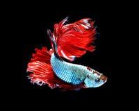 Czerwonego smoka boju siamese ryba, betta ryba odizolowywająca na czarnym b Zdjęcia Royalty Free