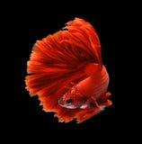 Czerwonego smoka boju siamese ryba, betta ryba odizolowywająca na czarnym b Obrazy Stock