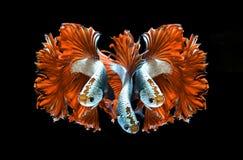 Czerwonego smoka boju siamese ryba, betta ryba odizolowywająca na czarnym b Zdjęcie Royalty Free