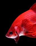 Czerwonego smoka boju siamese ryba, betta ryba odizolowywająca na czarnym b Obraz Royalty Free