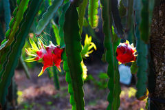 czerwonego smoka owocowy drzewo w ogródzie Zdjęcie Stock