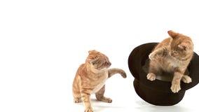 Czerwonego Tabby Domowy kot, dorosli Bawić się w Odgórnym kapeluszu przeciw Białego BackgroundRed Tabby Domowemu kotu, dorosli Ba zbiory