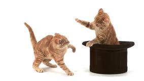 Czerwonego Tabby Domowy kot, dorosli Bawić się w Odgórnym kapeluszu przeciw Białemu tłu zbiory