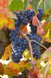czerwonego wina winogrona Zdjęcia Royalty Free