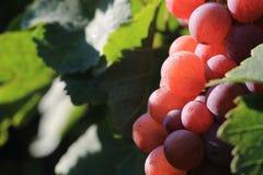 Czerwonego wina winogrono Zdjęcie Stock