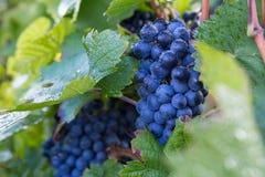 Czerwonego wina winogrono Obraz Royalty Free