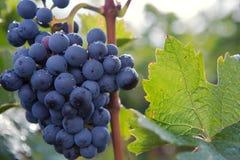 Czerwonego wina winogrono Fotografia Royalty Free
