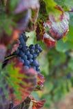 Czerwonego wina winogrono Obrazy Stock