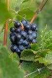 Czerwonego wina winogrono Zdjęcia Royalty Free