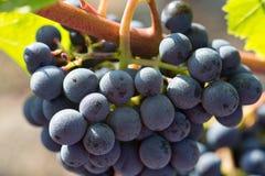 Czerwonego wina winogrono Zdjęcia Stock
