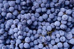 Czerwonego wina winogrono Ciemny winogrona tło Isabella winogrono niebieskie winogron tła winogrona odosobniony winogradu biel Obrazy Stock