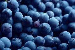 Czerwonego wina winogrono Ciemny winogrona tło Isabella winogrono niebieskie winogron tła winogrona odosobniony winogradu biel Obrazy Royalty Free
