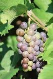 Czerwonego wina winogrono - Grappolo nera Di Uva Zdjęcia Royalty Free