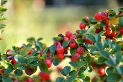 czerwonej 2 owoc Obraz Stock
