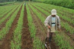 Czerwonej cebuli rolnik Fotografia Royalty Free