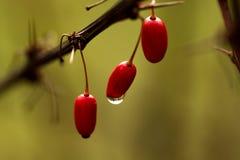 3 czerwonej jagody Zdjęcia Royalty Free