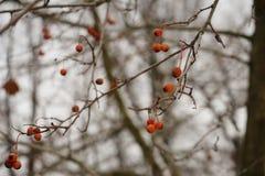 czerwonej jagody gałąź natury outdoors lasowy zakończenie Zdjęcia Royalty Free