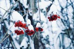 czerwonej jagody gałąź natury outdoors zakończenia dnia zimy śniegu lasowy park Zdjęcia Royalty Free