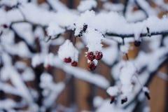 czerwonej jagody gałąź zimy zimna śnieżny dzień Obrazy Royalty Free