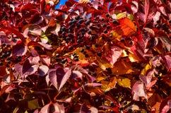 Czerwonej jesieni Parthenocissus wspinaczkowi liście i jagody Obrazy Royalty Free