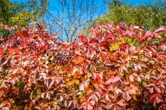 Czerwonej jesieni Parthenocissus wspinaczkowi liście i jagody Obraz Royalty Free