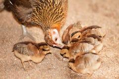 Czerwonej junglefowl matki nauczania wrzosowiskowi dzieci jedzą ziarna Zdjęcia Stock