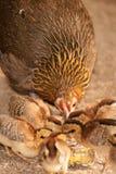 Czerwonej junglefowl matki nauczania wrzosowiskowi dzieci jedzą ziarna Fotografia Stock