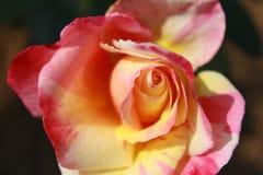 Czerwonej kolor żółty róży Odgórny kąt Obrazy Stock