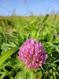 Czerwonej koniczyny kwiat Fotografia Stock