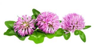 Czerwonej koniczyny Trifolium pratense Zdjęcia Royalty Free