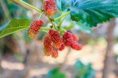 Czerwonej morwy owoc na gałąź fotografia royalty free