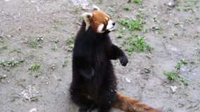 Czerwonej pandy Ailurus Fulgens, także Dzwoniący Lesser pandy, trwanie w górę i falowania ręki pyta dla jedzenia, 4K wideo, zwoln zdjęcie wideo