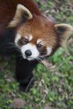 Czerwonej pandy Ailurus fulgens, także znać jako Lesser panda Zdjęcie Royalty Free