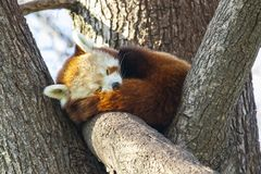 Czerwonej pandy dosypianie w drzewie obraz stock