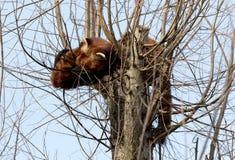 Czerwonej pandy drzemanie zdjęcie stock