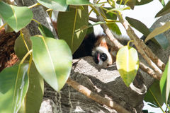 Czerwonej pandy jęzor out Zdjęcie Stock