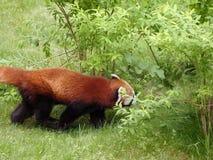 Czerwonej pandy niedźwiedź Zdjęcie Stock