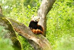 Czerwonej pandy niedźwiedź przy zoo Zurich Zdjęcie Stock