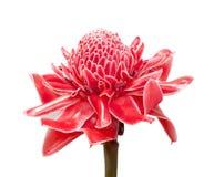 Czerwonej pochodni imbirowy kwiat Fotografia Royalty Free
