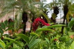 Czerwonej pochodni Imbirowy kwiat na Kauai przy półmrokiem obraz stock