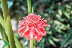 Czerwonej pochodni imbirowy lokalny kwiat Zdjęcie Stock