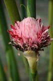 Czerwonej pochodni kwiatu Imbirowy okwitnięcie Fotografia Royalty Free